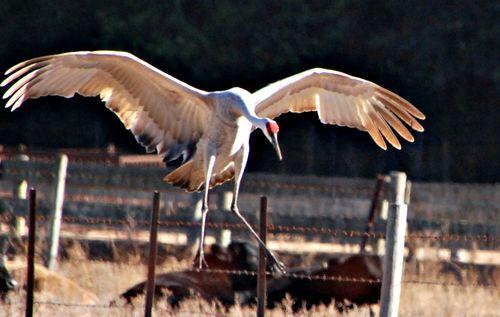 Sandhill cranes 076