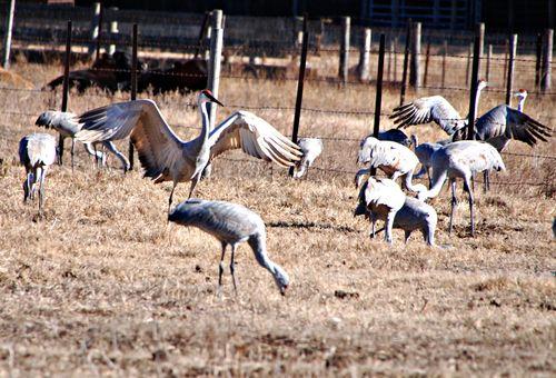 Sandhill cranes 077
