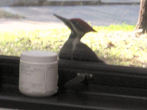 Woodpecker 032