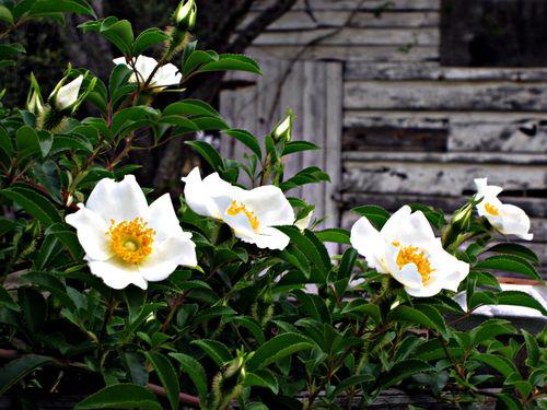 Cherokee rose 005_picnik