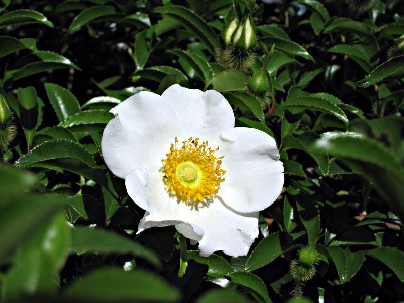Cherokee rose 008_picnik
