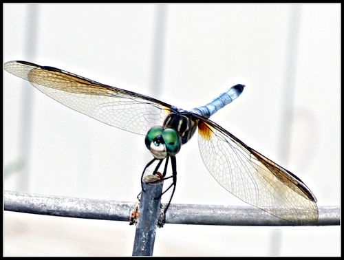 Dragonfly 009