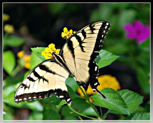 Monarch 022