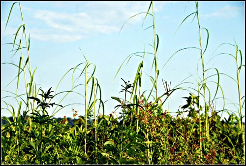 Weeds 004