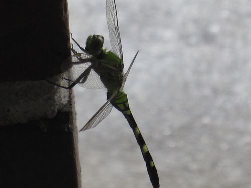 Dragonfly 003