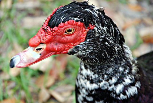 Ducks 027_picnik