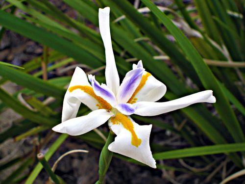 Iris 012