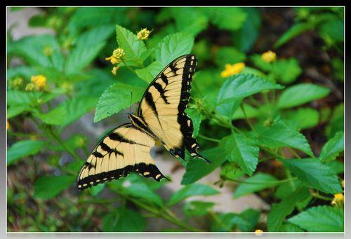 Monarch 018