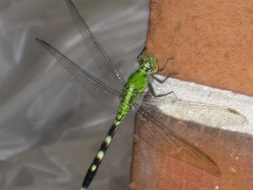 Dragonfly 004