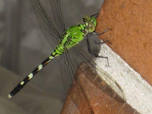 Dragonfly 006