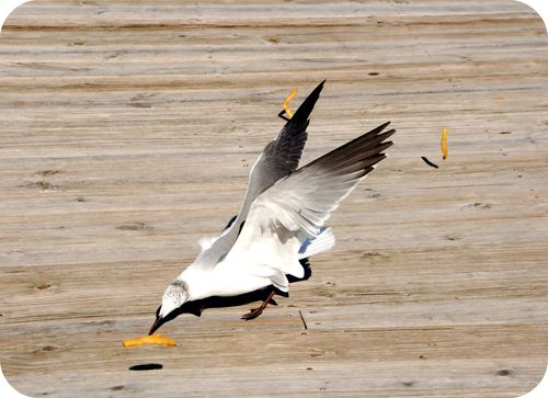 Sea gulls 002