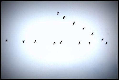 Ssandhill cranes 007