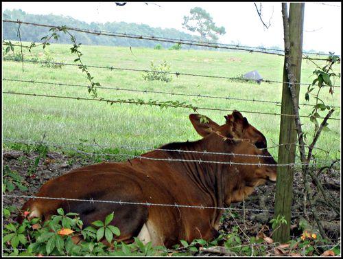 Cow 001