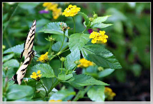 Monarch 004