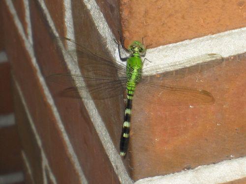 Dragonfly 005