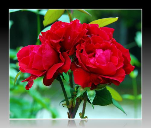 Roses 004