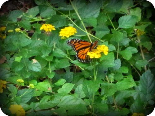 Monarch 008