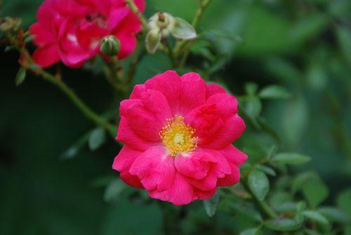 Roses 006