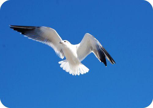 Sea gulls 006