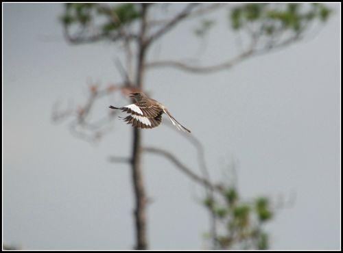 Mockingbird 009