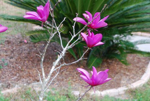 Japanese magnolia 005