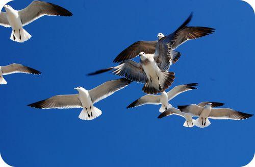 Sea gulls 029