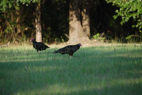 Vultures 038