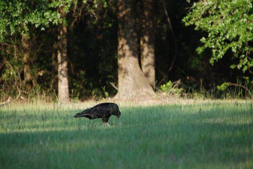 Vultures 039
