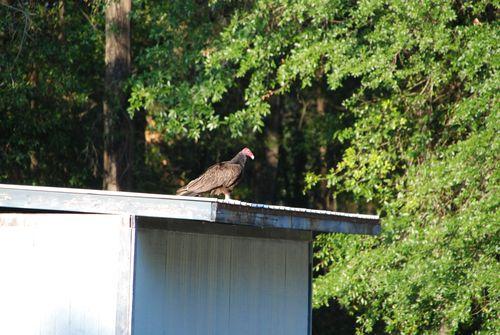 Vultures 033