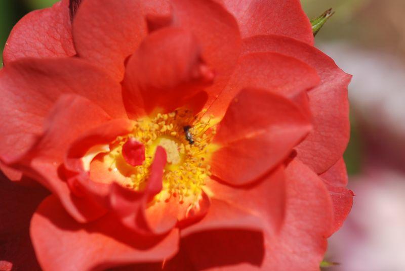 Yard flowers 031