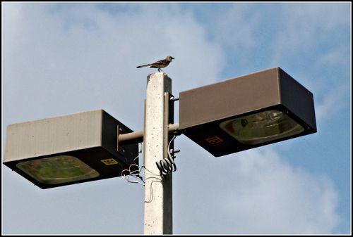 Mockingbird 013