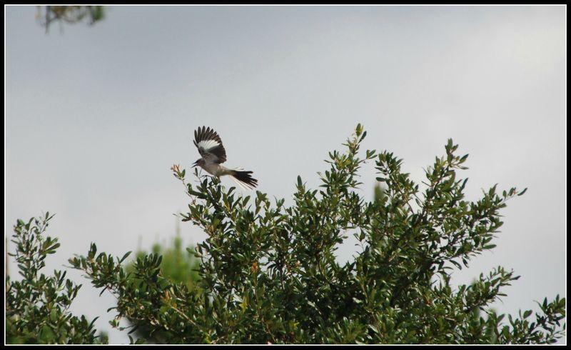 Mockingbird 006