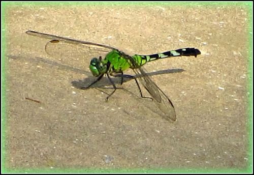 Dragonfly 008