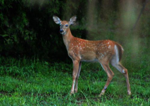 Deer 004