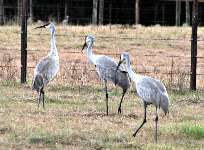 Sandhill cranes 002