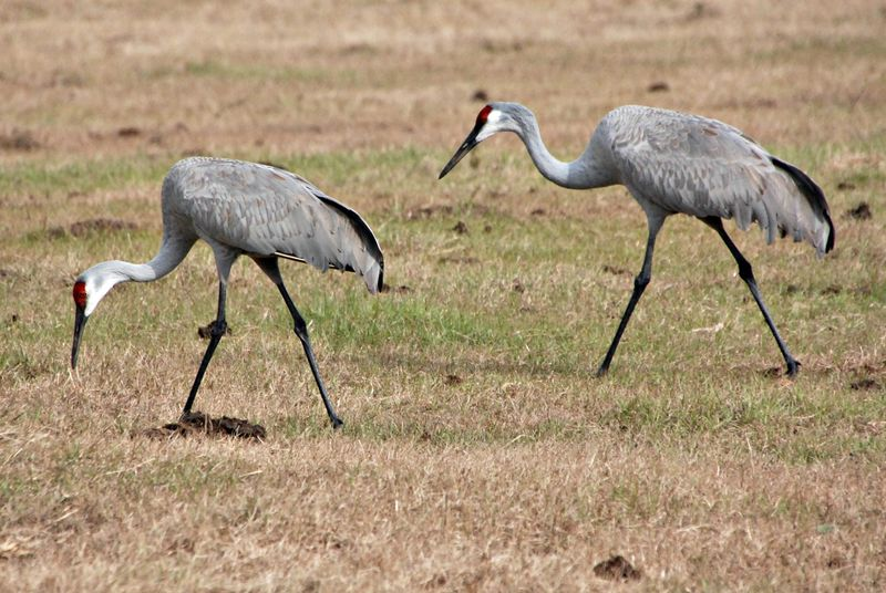 Sandhill cranes 029