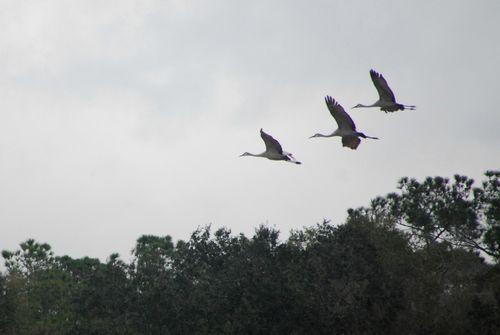 Sandhill cranes 024