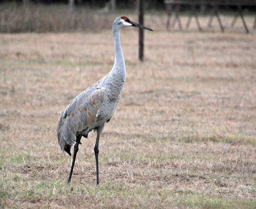 Sandhill cranes 022