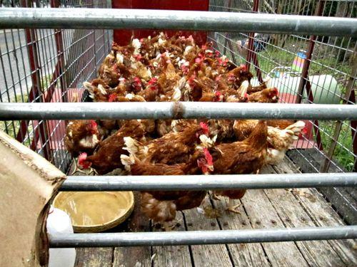 Chickens 003