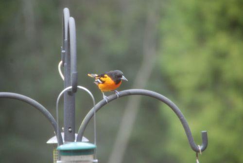 Birdfeeders 033