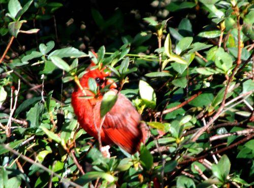 Cardinals 020_picnik