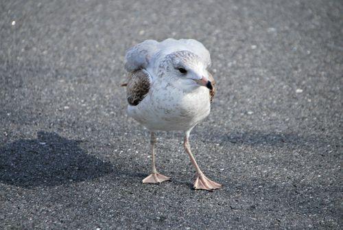 Seagulls 009