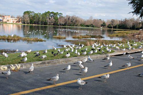 Seagulls 011