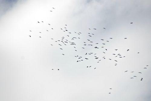 Cranes 003