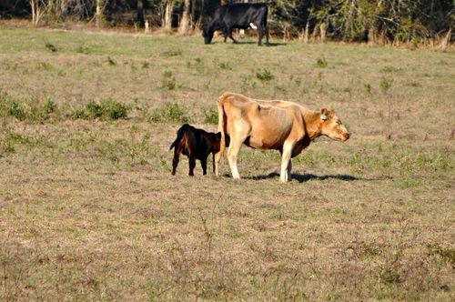 Cows 002