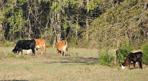 Cows 005