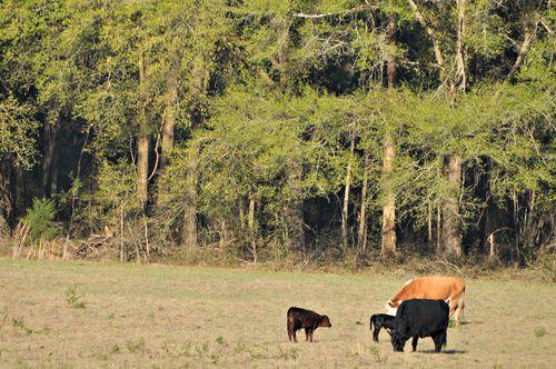 Cows 014
