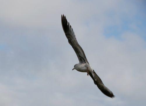 Seagulls 017