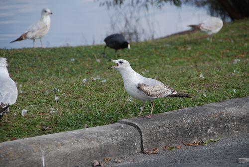 Seagulls 022