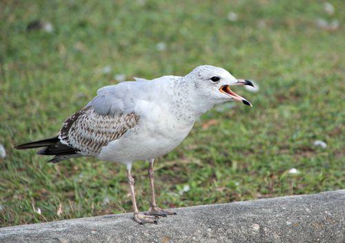 Seagulls 023